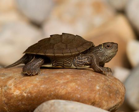 Newborn Map Turtle