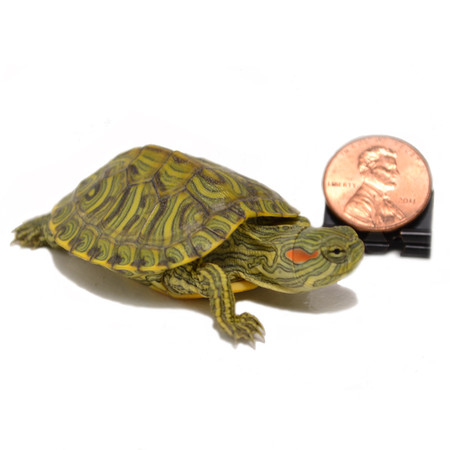 Shop with us for baby rio grande slider turtles!