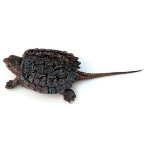 We are your source for baby common snapping turtles.