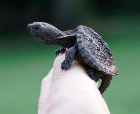 Baby Snapping Turtle in hand