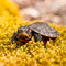 Hatchling Eastern Painted Turtles