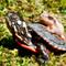 New Born Eastern Painted Turtles