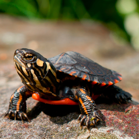 Baby Eastern Painted Turtle