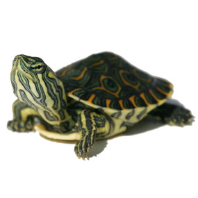 We offer baby Peacock Slider turtles for sale!