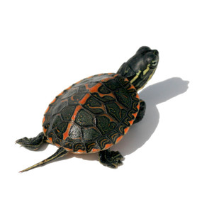We offer beautiful baby Southern Painted turtles!