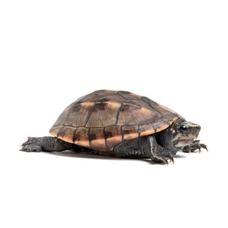 Baby Three Stripe Mud Turtle