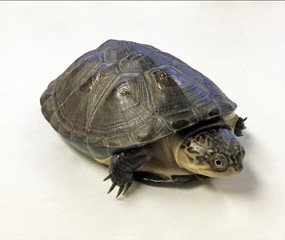 Baby West African Side Neck Turtle