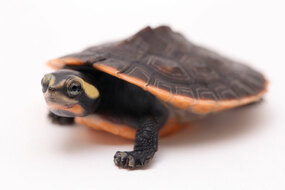 Baby Pink Belly Side Neck Turtle