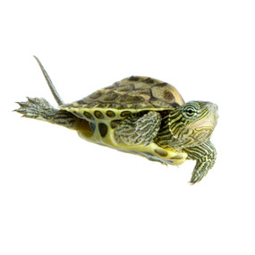 Shop with us for golden thread turtles!