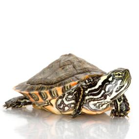 Juvenile Gorzugi Turtle