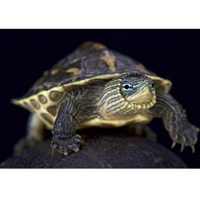 Juvenile Golden Thread Turtle