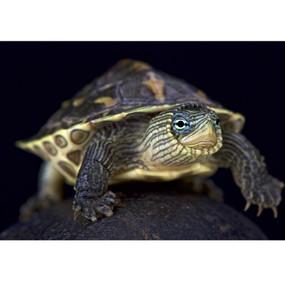 Juvenile Golden Thread Turtle