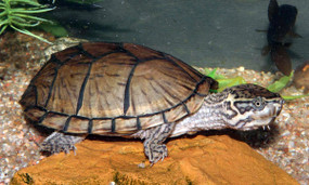 Juvenile Razorback Musk Turtle