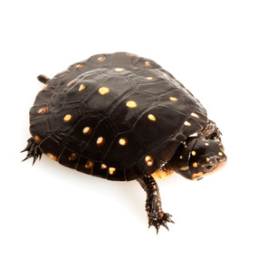 Juvenile Spotted Turtle