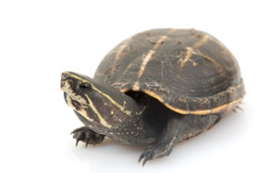 Juvenile Three Strip Mud Turtle