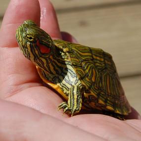 Juvenile Rio Grande Turtle