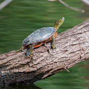 Stock Your Pond 10 Large Western Painted Turtles