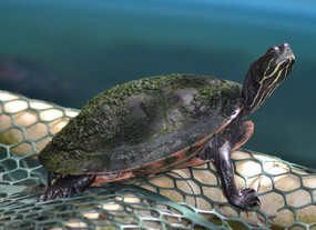 Large Northen Red Belly Turtle