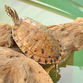 Large Gorzugi Turtle