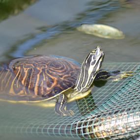 Large Peninsular River Cooter Turtle