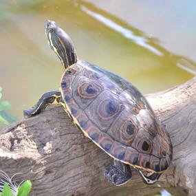 Large Peacock Slider Turtle