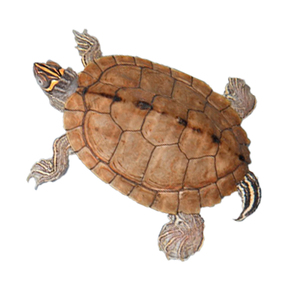 X-Large Mississippi Map Turtle