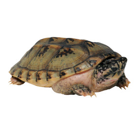 Large Giant Mexican Musk Turtle