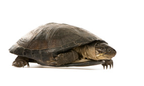 Large African Sideneck Turtle