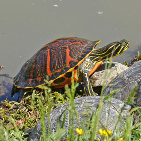 Large Red Bellied Turtle