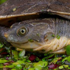 Large New Guinea Sideneck Turtle