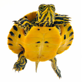 Shop with us for baby Yellow Bellied turtles!