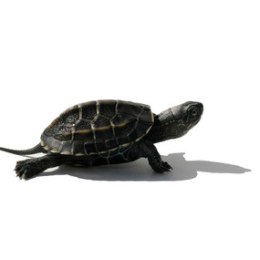 B Grade Baby Reeve's Turtle