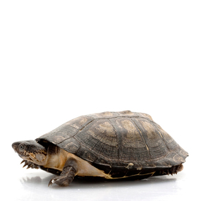 B Grade Baby West African Sideneck Turtle