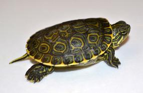 B Grade Baby Mexican Slider Turtle