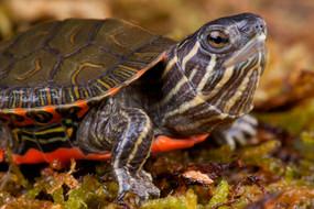 B Grade Baby Western Painted Turtle