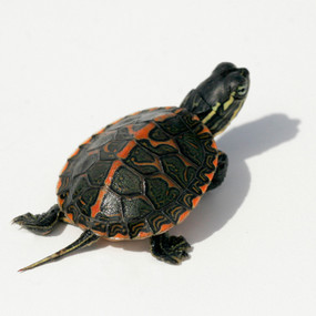 B Grade Baby Southern Painted Turtle