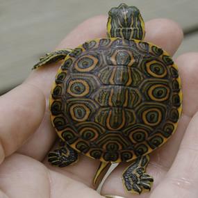 B Grade Baby Peacock Slider Turtle
