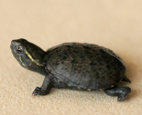 B Grade Baby Eastern Musk Turtle