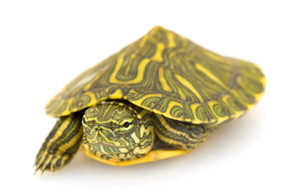 B Grade Baby Rio Grande Slider Turtle