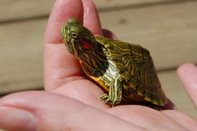 B Grade Juvenile Rio Grande Turtle