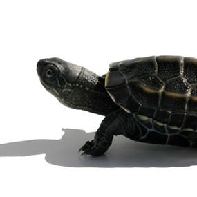 B Grade Juvenile Reeve's Turtle