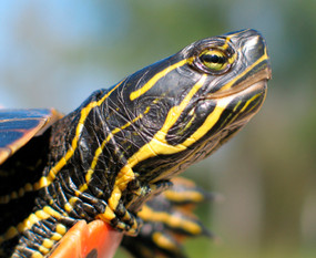 B Grade Juvenile Western Painted Turtle