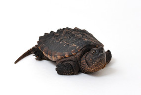 B Grade Juvenile Snapping Turtle
