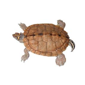B Grade Juvenile Mississippi Map Turtle