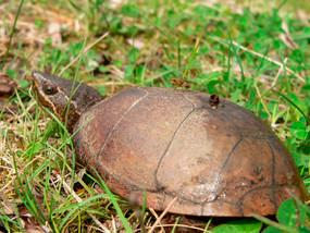 B Grade Juvenile Eastern Musk Turtle
