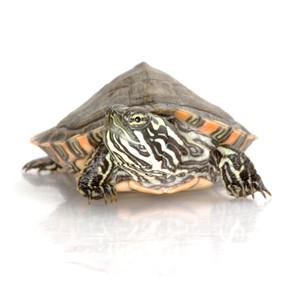 B Grade Large Gorzugi Turtle