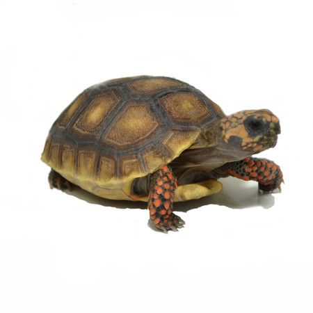 Buy hatchling Red Footed tortoises here!