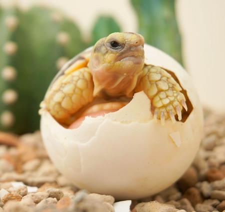Baby Sulcata Tortoise in egg
