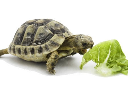 Shop with us for baby Hermann's tortoises!