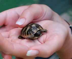 Holding a baby hermann's tortoise